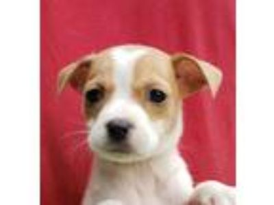 Adopt Tessa a White - with Brown or Chocolate Terrier (Unknown Type