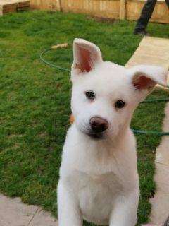 sweet caring akita puppies for adodtion