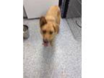 Adopt Ginger a Brown/Chocolate Shepherd (Unknown Type) / Mixed dog in Pickens