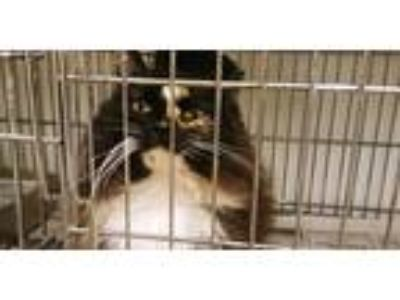 Adopt Gypsy a Black (Mostly) Calico cat in Rock Springs, WY (25296907)