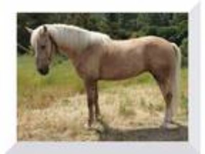 Gaited Hypoallergenic Curly Missouri Fox Trotter