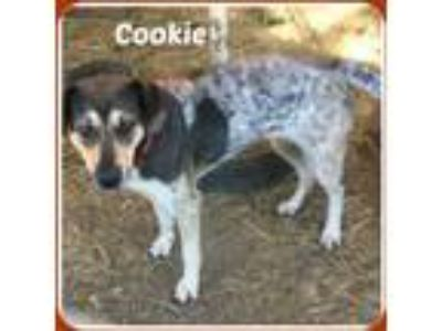 Adopt COOKIE a White - with Black Bluetick Coonhound / Mixed dog in Malvern