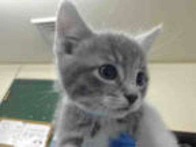 Adopt DUSTIN a Gray or Blue (Mostly) Domestic Shorthair / Mixed (short coat) cat