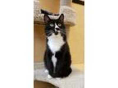 Adopt Mr T a Domestic Shorthair / Mixed cat in Sherwood, OR (25337092)