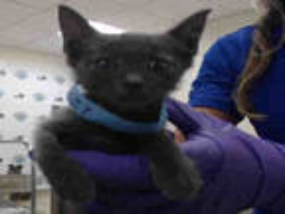 Adopt BAYLEE a Gray or Blue Domestic Shorthair / Mixed (short coat) cat in