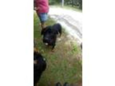 Adopt TYSON a Black Rottweiler / Mixed dog in Land O'Lakes, FL (25837532)