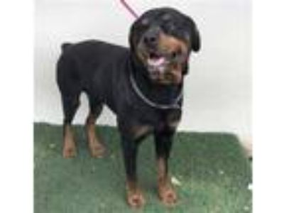 Adopt a Black - with Tan, Yellow or Fawn Rottweiler / Mixed dog in Visalia