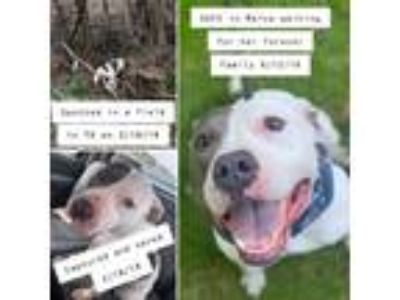 Adopt CORA a American Staffordshire Terrier, Pit Bull Terrier