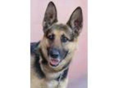 Adopt Lassie von Langen a German Shepherd Dog
