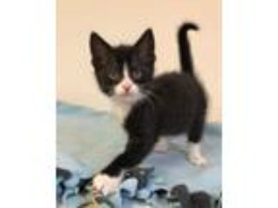 Adopt Samson a Black & White or Tuxedo Domestic Longhair (long coat) cat in