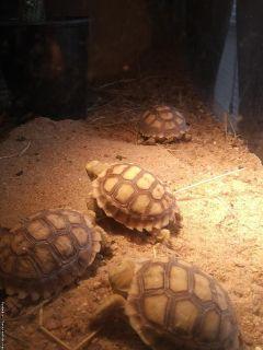 Sulcata Tortoise Hatchlings