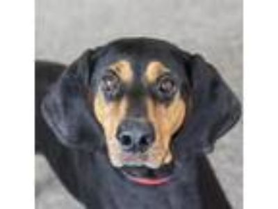 Adopt Ellie a Black Black and Tan Coonhound dog in Middletown, RI (25915583)