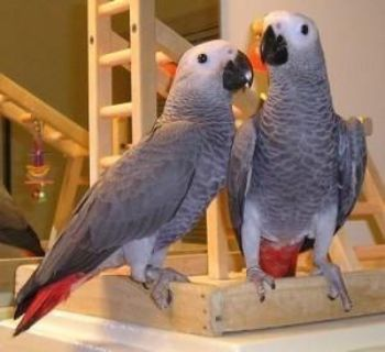 Adorable Talking African grew parrots