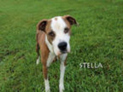 Adopt STELLA a Brindle - with White American Pit Bull Terrier / Mixed dog in