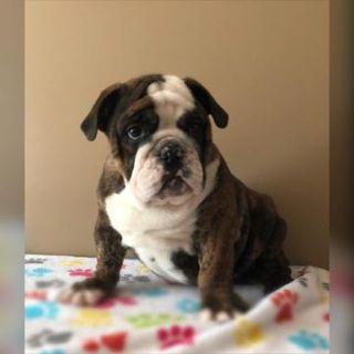 English Bulldog PUPPY FOR SALE ADN-105053 - Bommer
