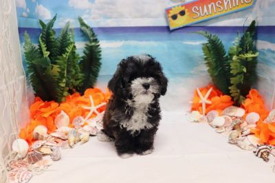 Maltipoo - Mickey - Male