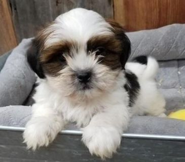 agreeable Shih Tzu puppies ready