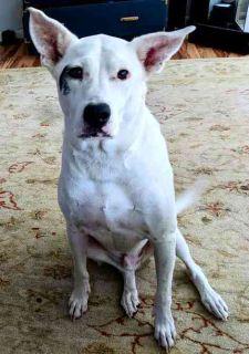 Boxador DOG FOR ADOPTION ADN-104896 - Tito  Boxer Lab Retriever  Dog to Adopti in Kirkl