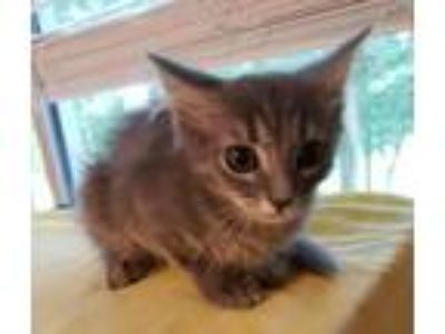 Adopt Reece Kitten a Gray or Blue (Mostly) Cornish Rex / Mixed (medium coat) cat