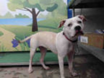 Adopt CHRISSY a Tan/Yellow/Fawn - with White American Pit Bull Terrier / Mixed