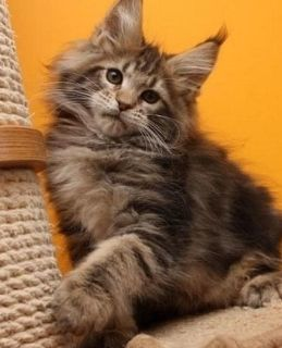Inspirational Maine coon Kittens