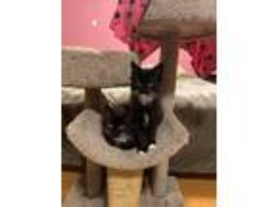 Adopt Pepsi a Black & White or Tuxedo Domestic Mediumhair / Mixed cat in