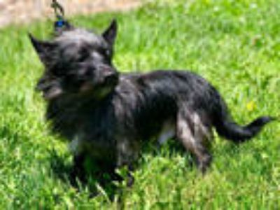 Adopt HERMAN a Black Terrier (Unknown Type, Medium) / Mixed dog in Urbana