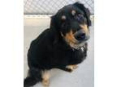 Adopt Bailey a Tibetan Mastiff / Australian Cattle Dog / Mixed dog in Mankato