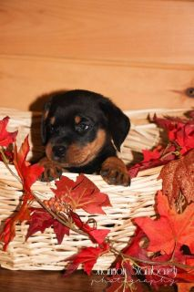 James: Male AKC Rottweiler