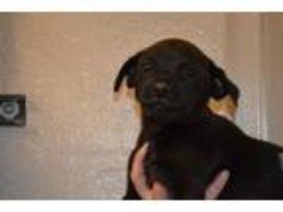Adopt 4 puppies (Pug/Lab mix) a Pug, Labrador Retriever