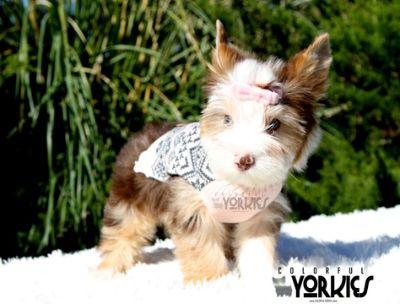 Yorkshire Terrier PUPPY FOR SALE ADN-107673 - Gabby