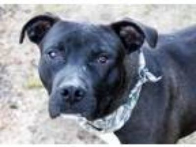 Adopt Fred a Pit Bull Terrier