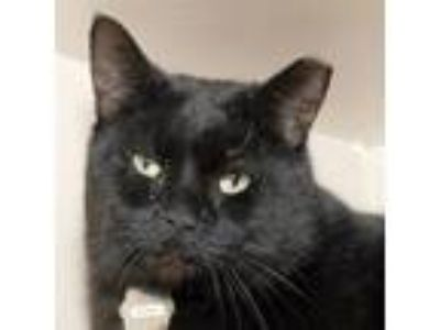 Adopt SAMWELL a Domestic Short Hair
