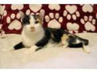 Adopt Autumn 2 a Domestic Short Hair