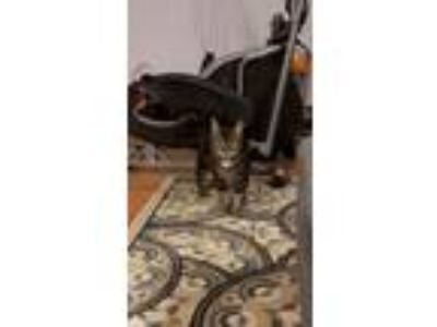 Adopt Charlie a Brown Tabby American Shorthair / Mixed cat in Bensalem