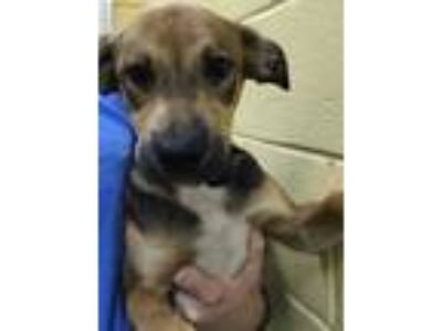 Adopt Holt a Black Hound (Unknown Type) / Mixed dog in Columbia, SC (25757220)