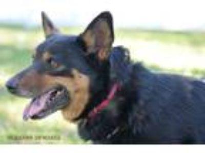 Adopt Leia a Shepherd (Unknown Type) / Mixed dog in Rockport, TX (21653376)