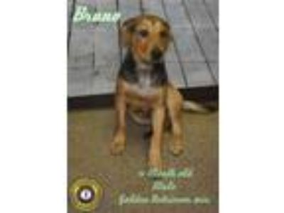 Adopt bruno a Golden Retriever
