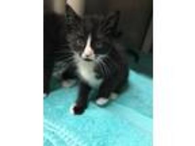 Adopt Macaron a Black & White or Tuxedo Domestic Shorthair (short coat) cat in