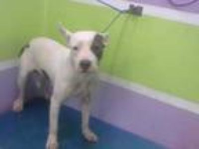 Adopt ROSIE a White - with Gray or Silver American Pit Bull Terrier / Mixed dog