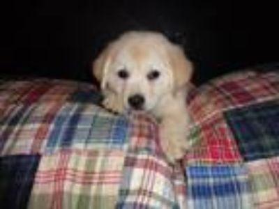 Adopt Micah a White Bichon Frise / Labrador Retriever / Mixed dog in GREENLAWN