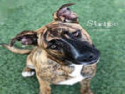 Adopt STRIPE a Brindle - with White German Shepherd Dog / Boxer / Mixed dog in