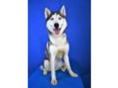 Adopt (found) Fairbanks a Gray/Blue/Silver/Salt & Pepper Husky / Mixed dog in