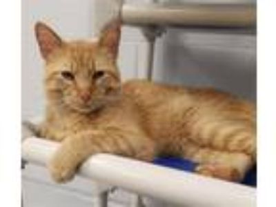 Adopt Tropher a Domestic Short Hair