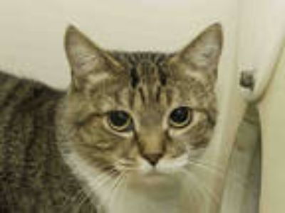 Adopt NORMA a Brown Tabby Domestic Shorthair / Mixed (short coat) cat in