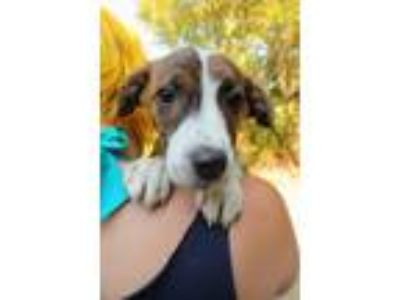 Adopt kain a Australian Cattle Dog / Blue Heeler