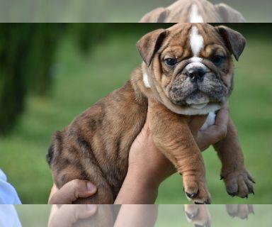 Bulldog PUPPY FOR SALE ADN-131259 - AKC English Bulldogs