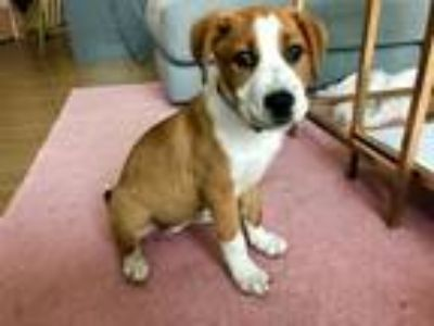 Adopt Birdie a Tan/Yellow/Fawn - with White Hound (Unknown Type) / Mixed dog in
