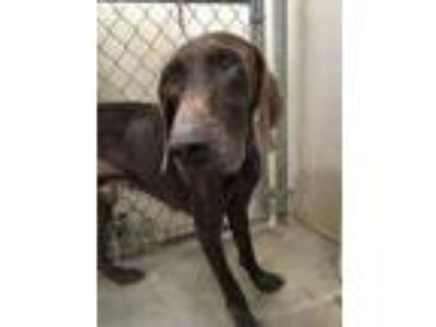 Adopt Clint a Pointer, German Shorthaired Pointer