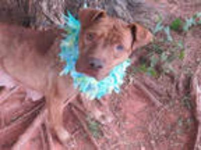 Adopt MACY a Brown/Chocolate American Pit Bull Terrier / Mixed dog in Oklahoma